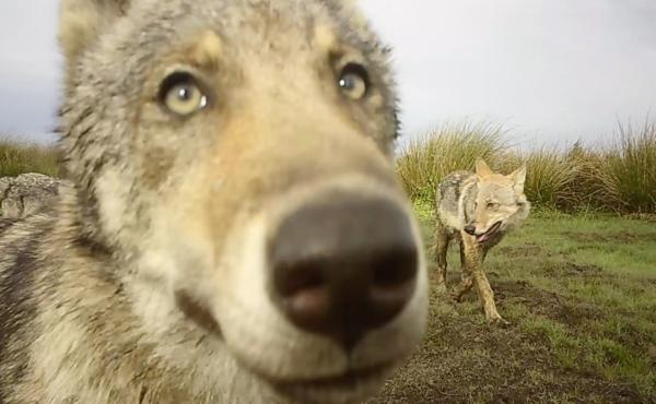 Volg onze wolven op de voet