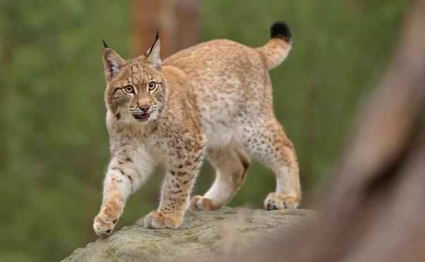 Meer weten over de lynx in België?