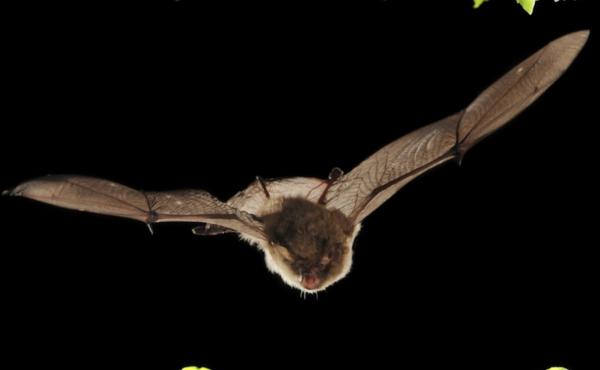 Kom meer te weten over onze vleermuizen