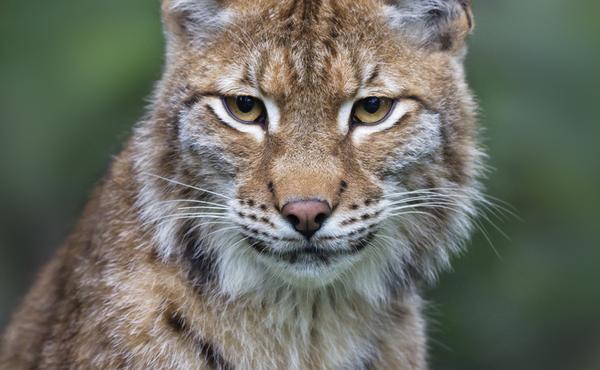 De krachtige bakkebaarden van de lynx