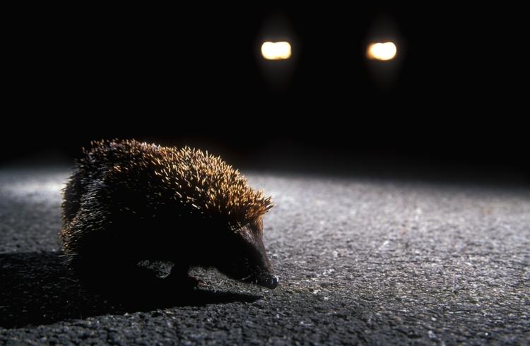 Een egel steekt de weg over