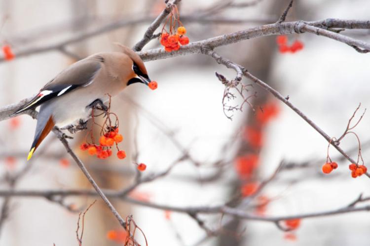 Pestvogel