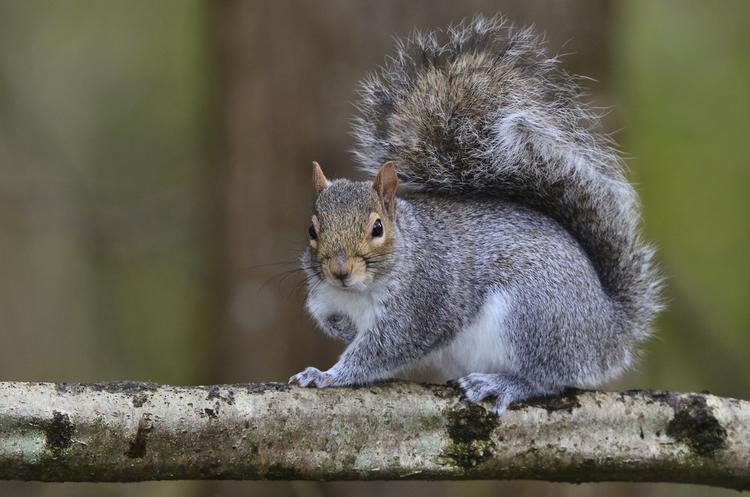 De grijze eekhoorn vormt een ernstige bedreiging voor de rode eekhoorn