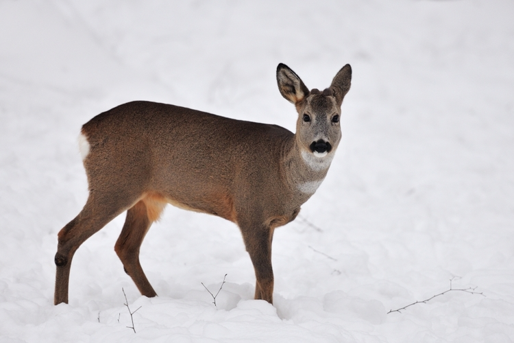 vilda-68975-ree-in-de-sneeuw-yves-adams-a8-46356.jpg