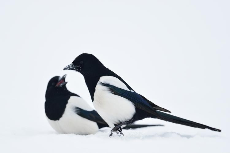vilda-85601-eksters-in-de-sneeuw-yves-adams-800-px-46362.jpg