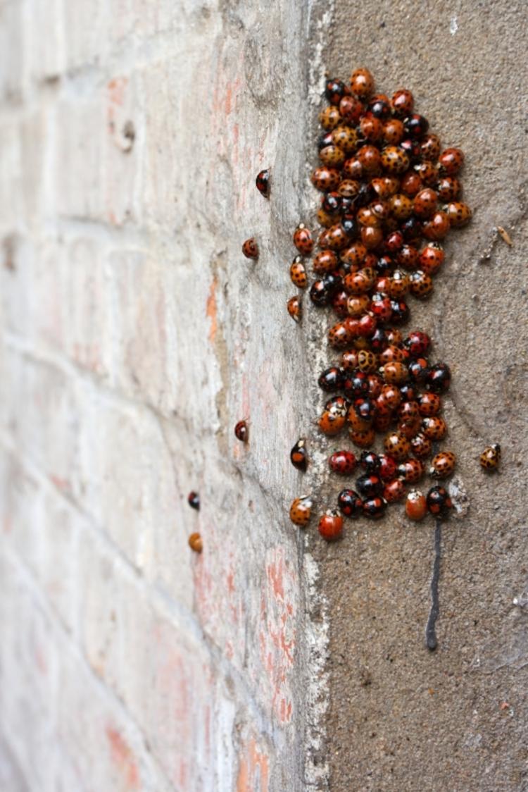 vilda-52922-overwintering-van-veelkleurige-aziatische-lieveheersbeestjes-jeroen-mentens-800-px-45449.jpg
