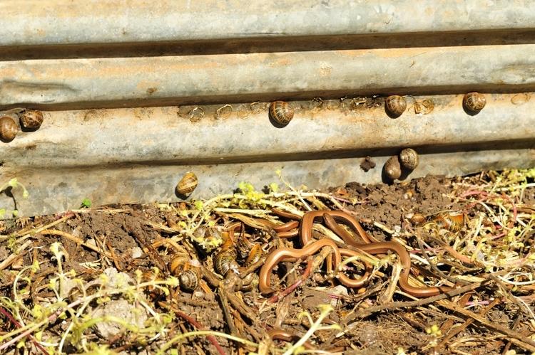 Hazelwormen onder een golfplaat