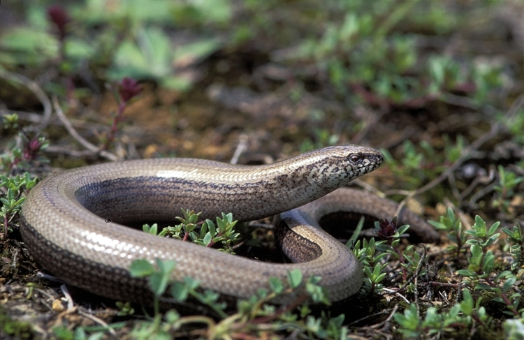 vilda-1093-hazelworm-rollin-verlinde-800-px-44757.jpg