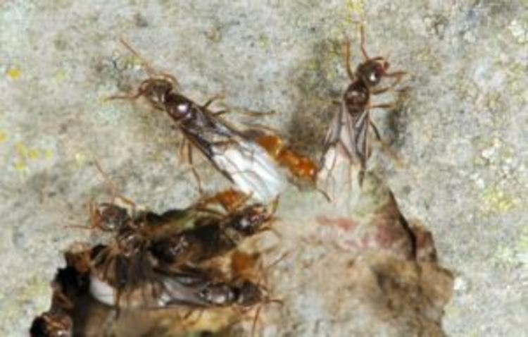 Werksters en uitvliegende mannetjes van de gele schaduwmier