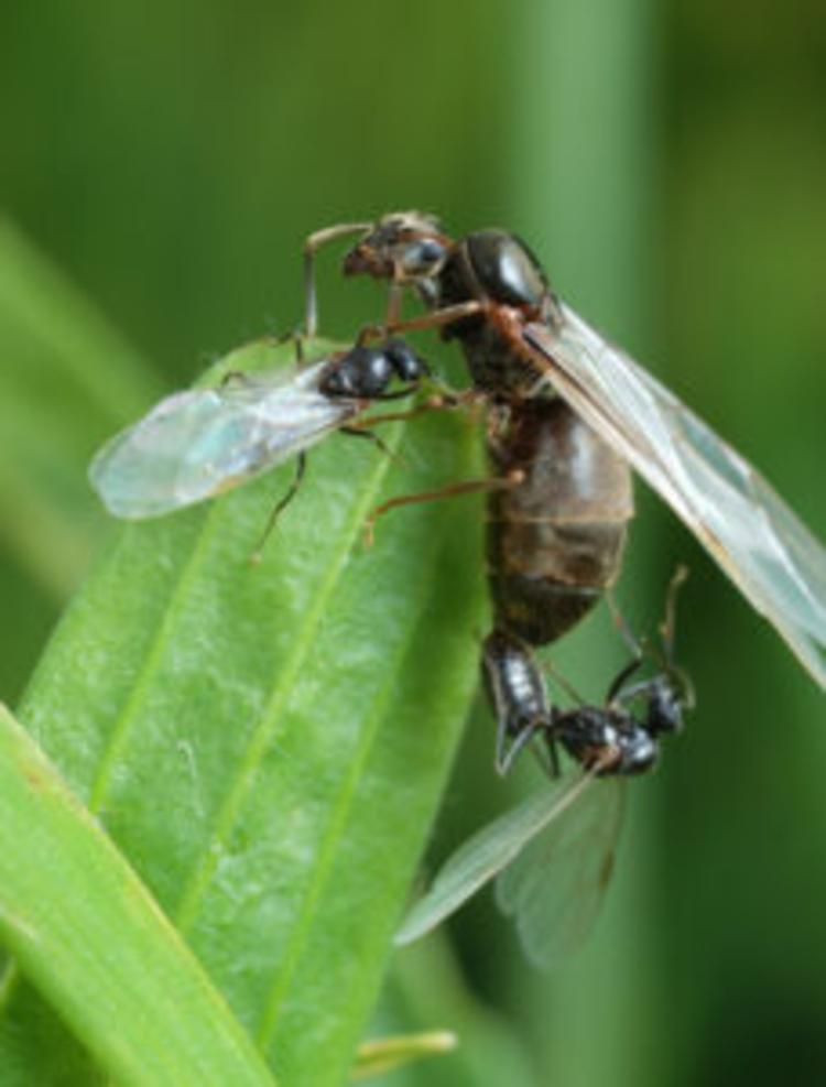 Twee mannetjes strijden om aandacht van één toekomstige koningin