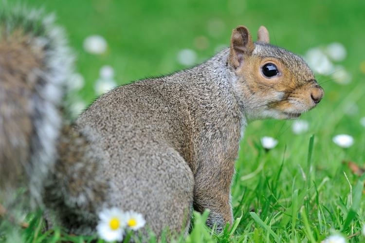 vilda-28275-rollin-verlinde-grijze-eekhoorn.jpg