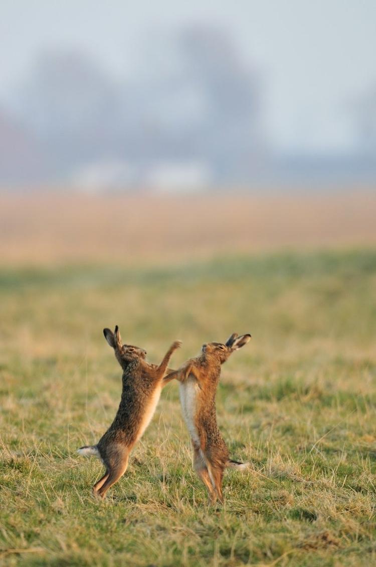 Hare coursing is een Britse jagerstraditie, waarbij jagers windhonden laten jagen op hazen.