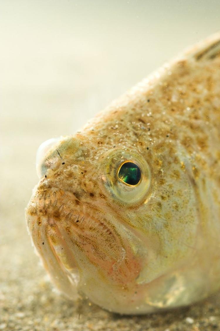 De Kleine Pieterman is een van de giftigste vissen van Europa.