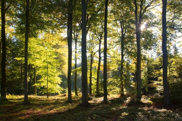vilda-53243-jonge-beuk-in-een-bos-met-kathedraalbeuken-jeroen-mentens-800-px-44983.jpg