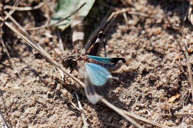blauwvleugelsprinkhaan-fladdert.jpg