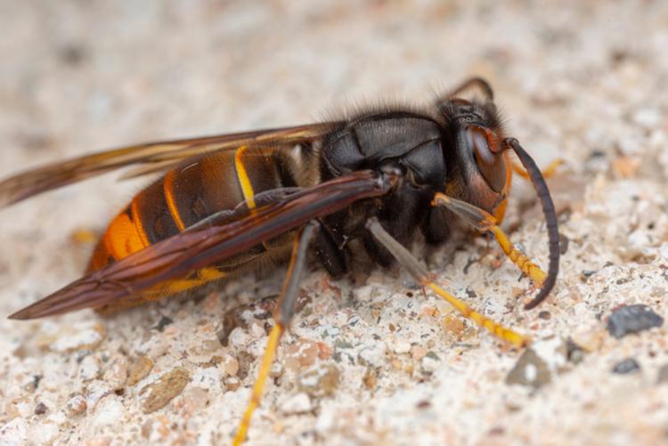 invasieve-exoot-aziatische-hoornaar.png