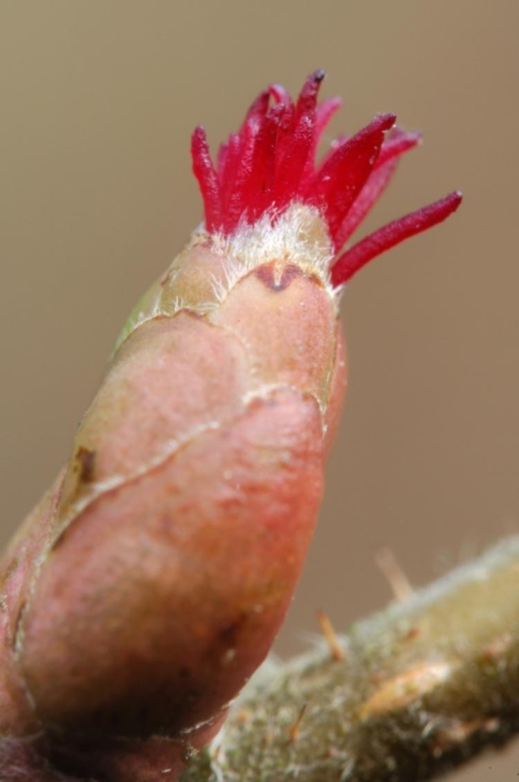 Vrouwelijke bloem van de hazelaar