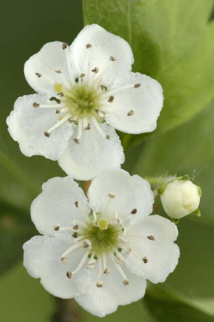 meidoorn-bloem.jpg