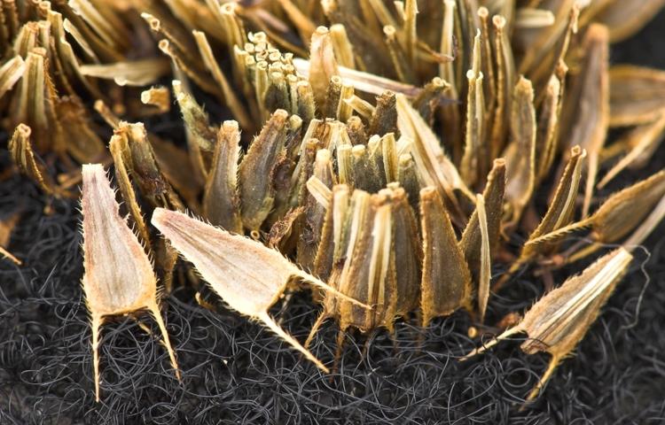 De zaden met tandjes of weerhaken in detail.