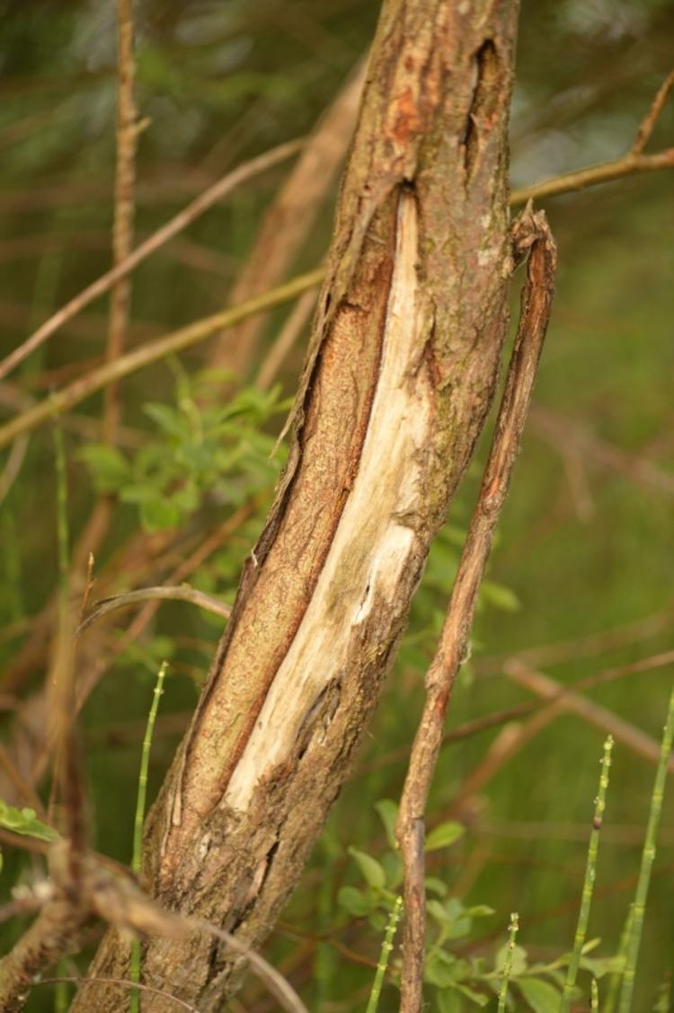 Aangevreten boom door een ree