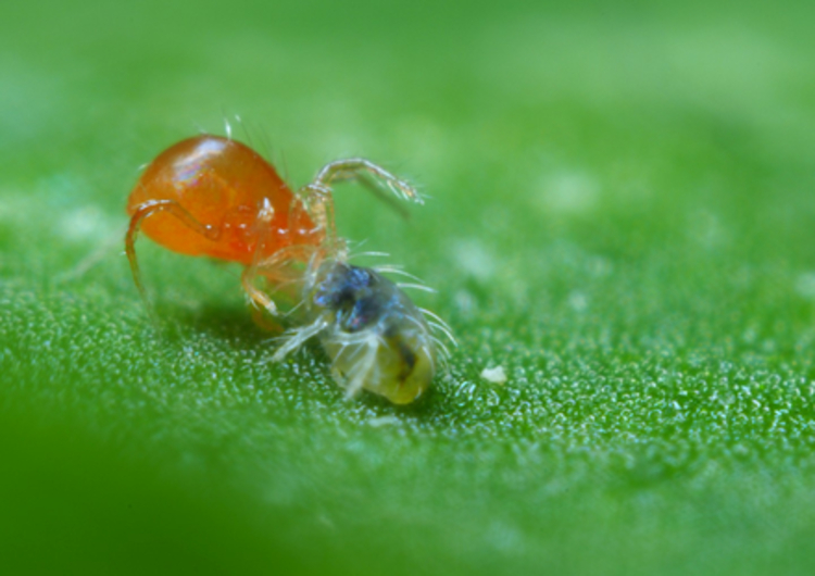 phytoseiulus-persimilis-roofmijt-natuurlijke-bestrijding-tegen-spint.png
