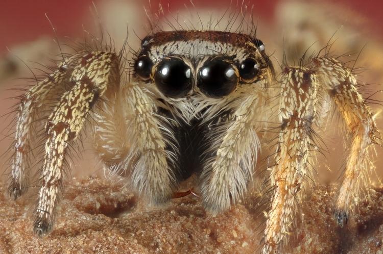 Huiszebraspin (Salticus scenicus)