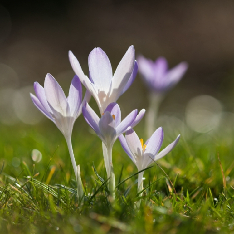 Wil je in de lente krokussen in de tuin? Ga dan nu al aan de slag!