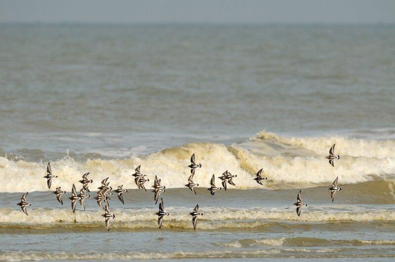 Steenlopers zee