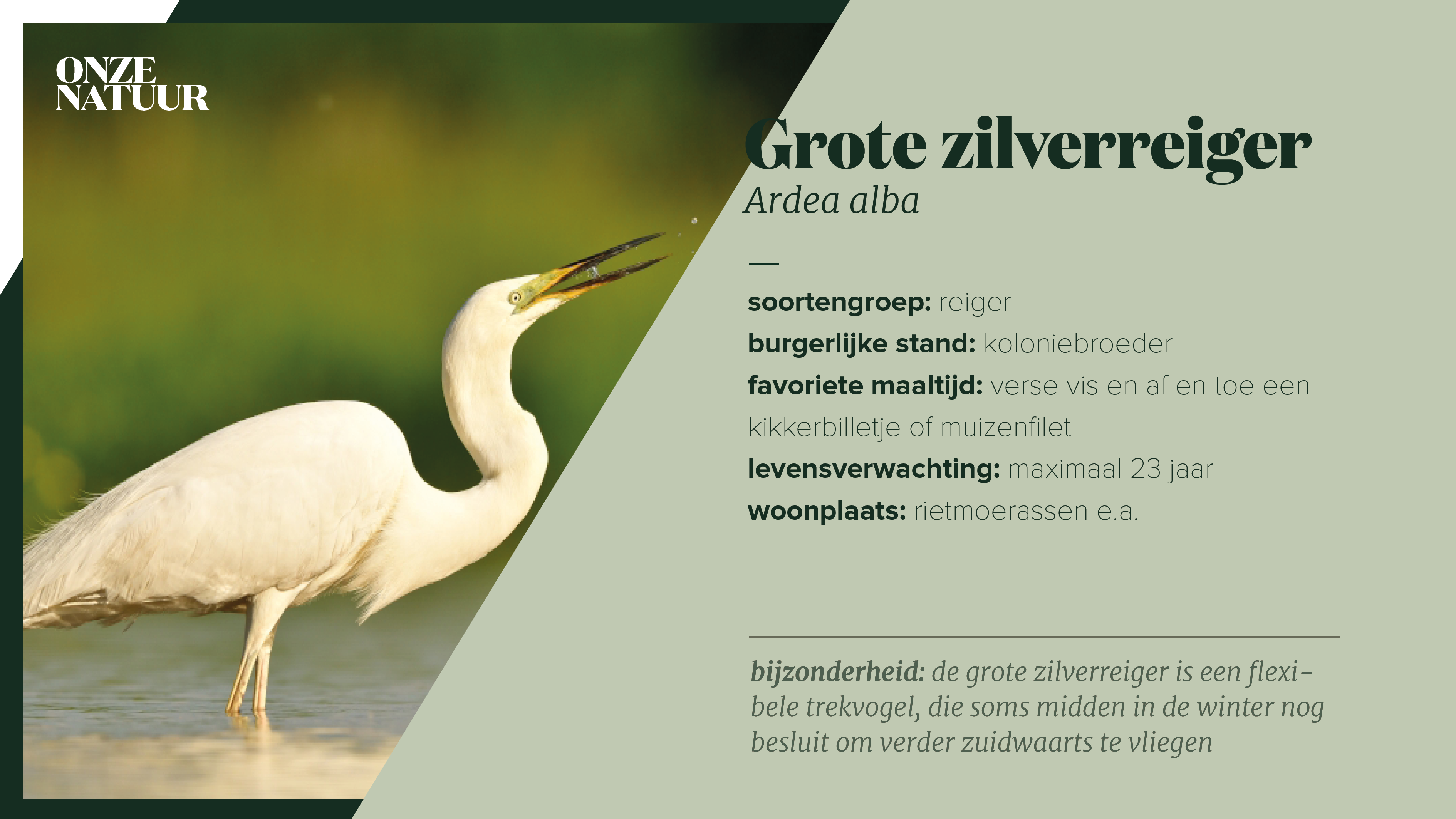on-fiche-zilverreiger.png