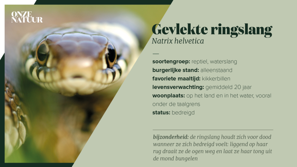 on-fiche-ringslang-1-1024x576.png
