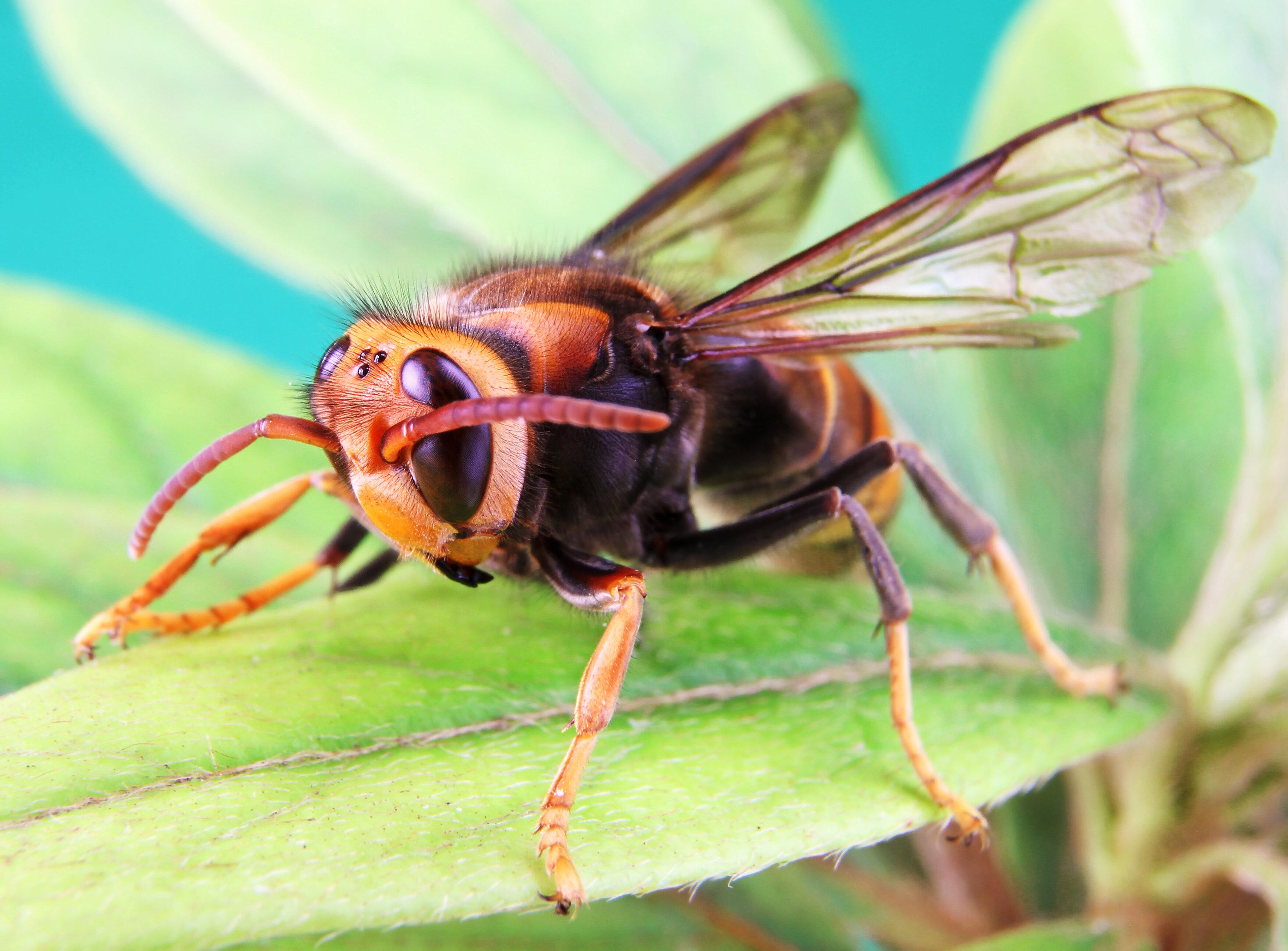 Meld waarnemingen van de Aziatische Hoornaar op de website vespawatch.be