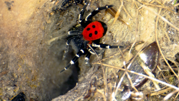 De volwassen mannetjes hebben een rood-oranje achterlijf hebben met enkele zwarte punten.