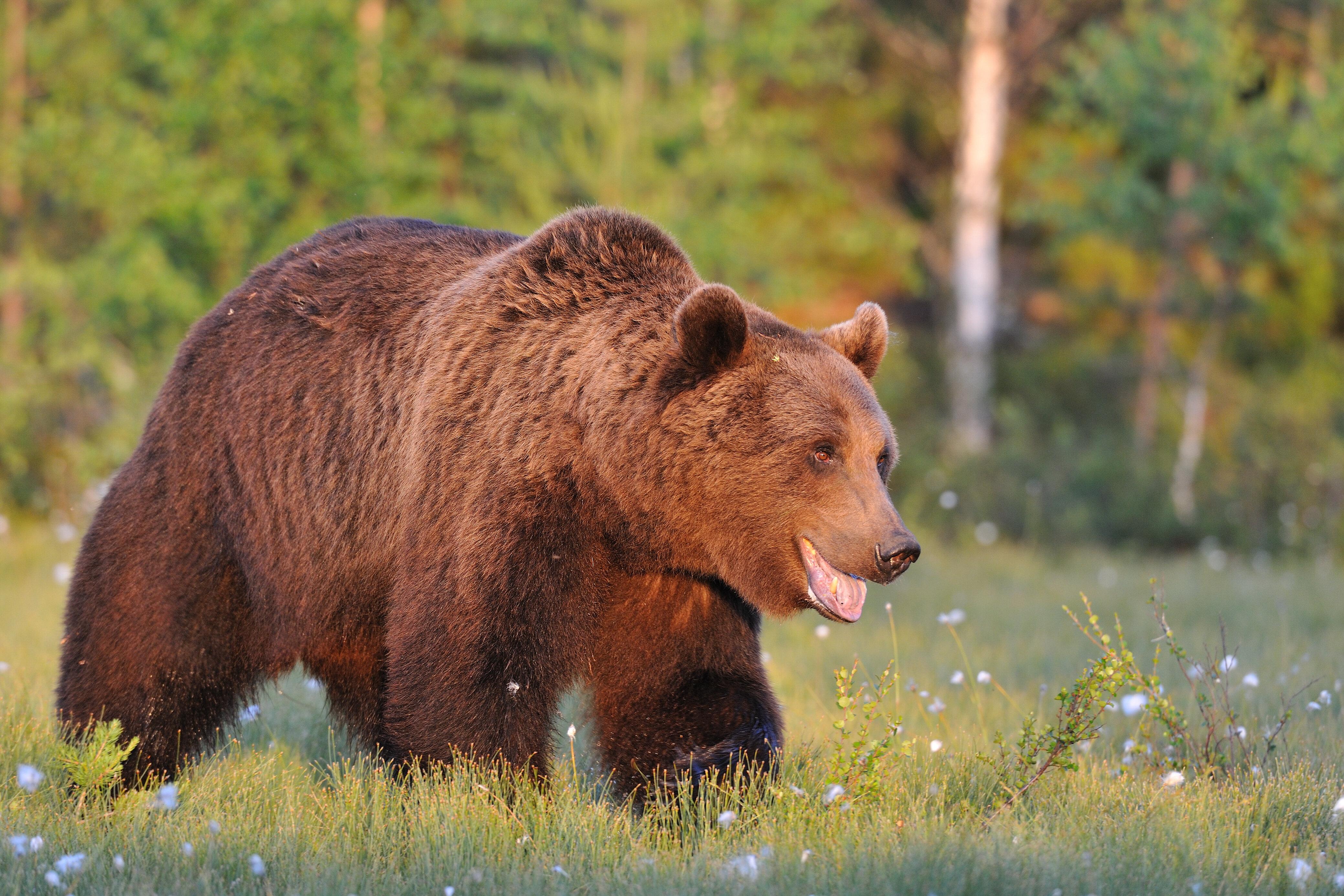 De bruine beer leefde in de 11de eeuw ook in het Zoniënwoud.