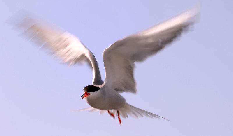 Tijdens de lente komt de visdief onder andere naar de broedeilanden in het Zwin.
