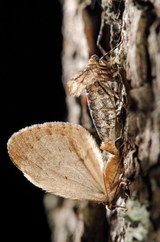 vilda-9860-parende-kleine-wintervlinders-rollin-verlinde-800-px-45490.jpg