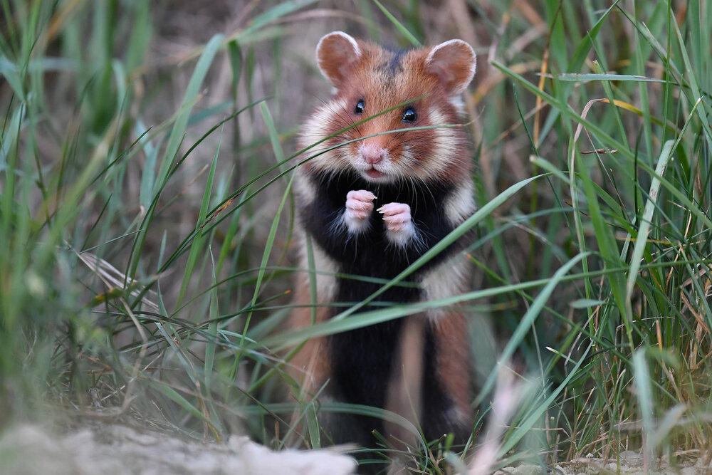 Wilde hamster met zwarte buik