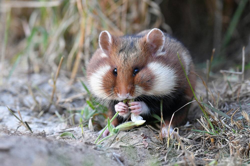 Hamster met gevulde wangzakken