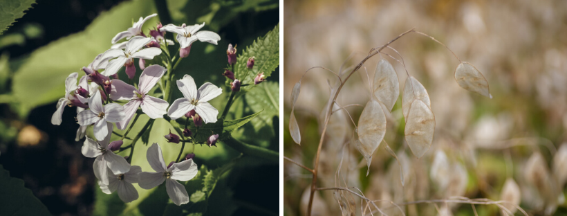 Wilde judaspenning (bloeiwijze en zaaddozen)
