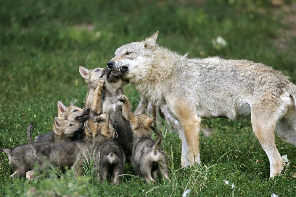 Wolf en welpen
