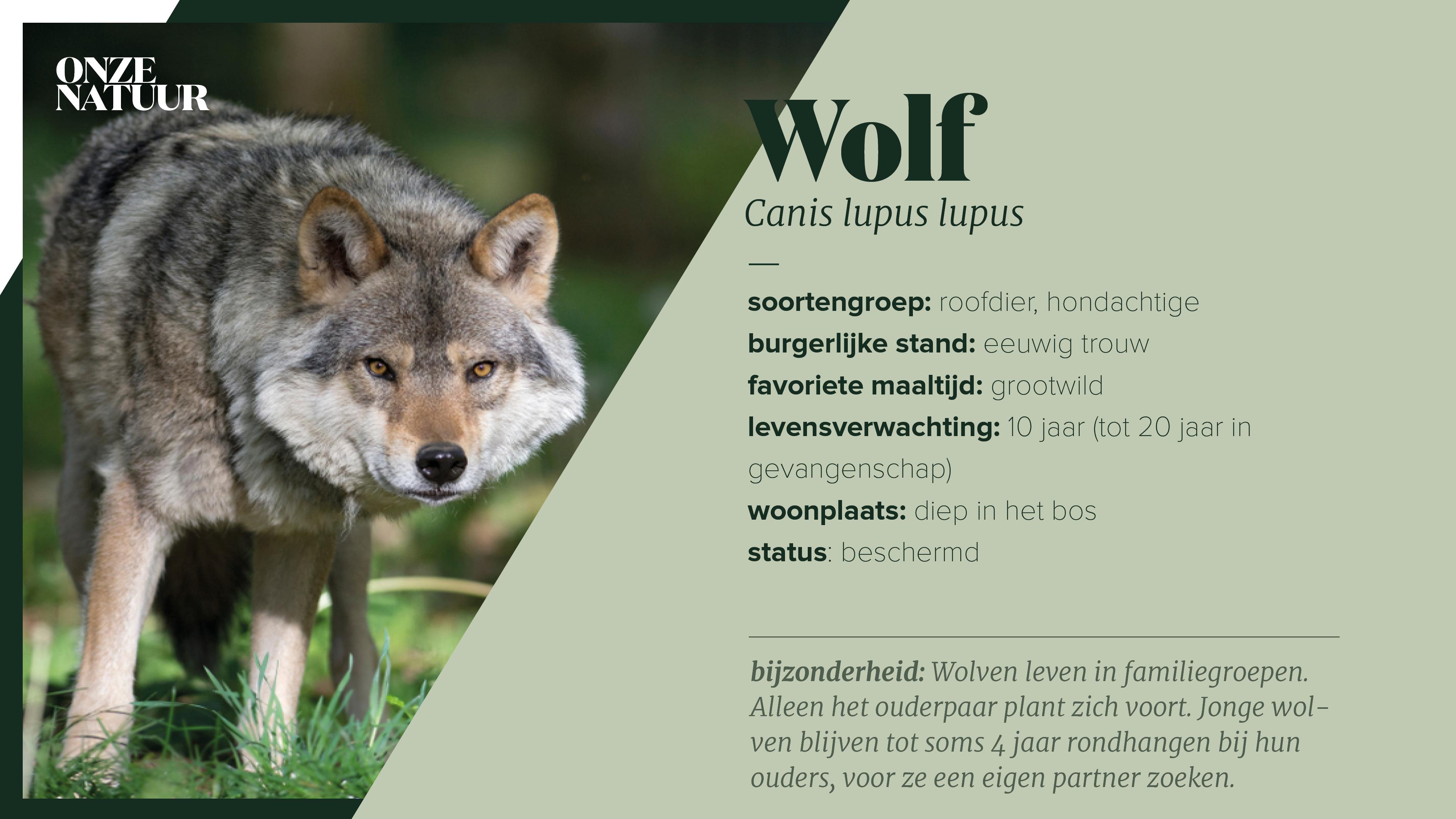 Alles over de wolf