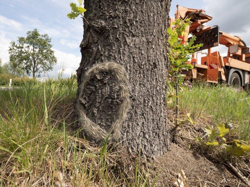 Nest eikenprocessierupsen