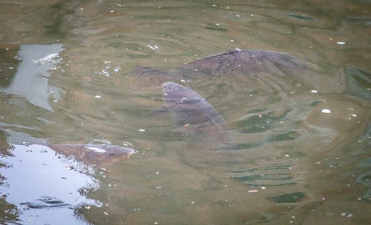 Grote vissen in de Brugse reien