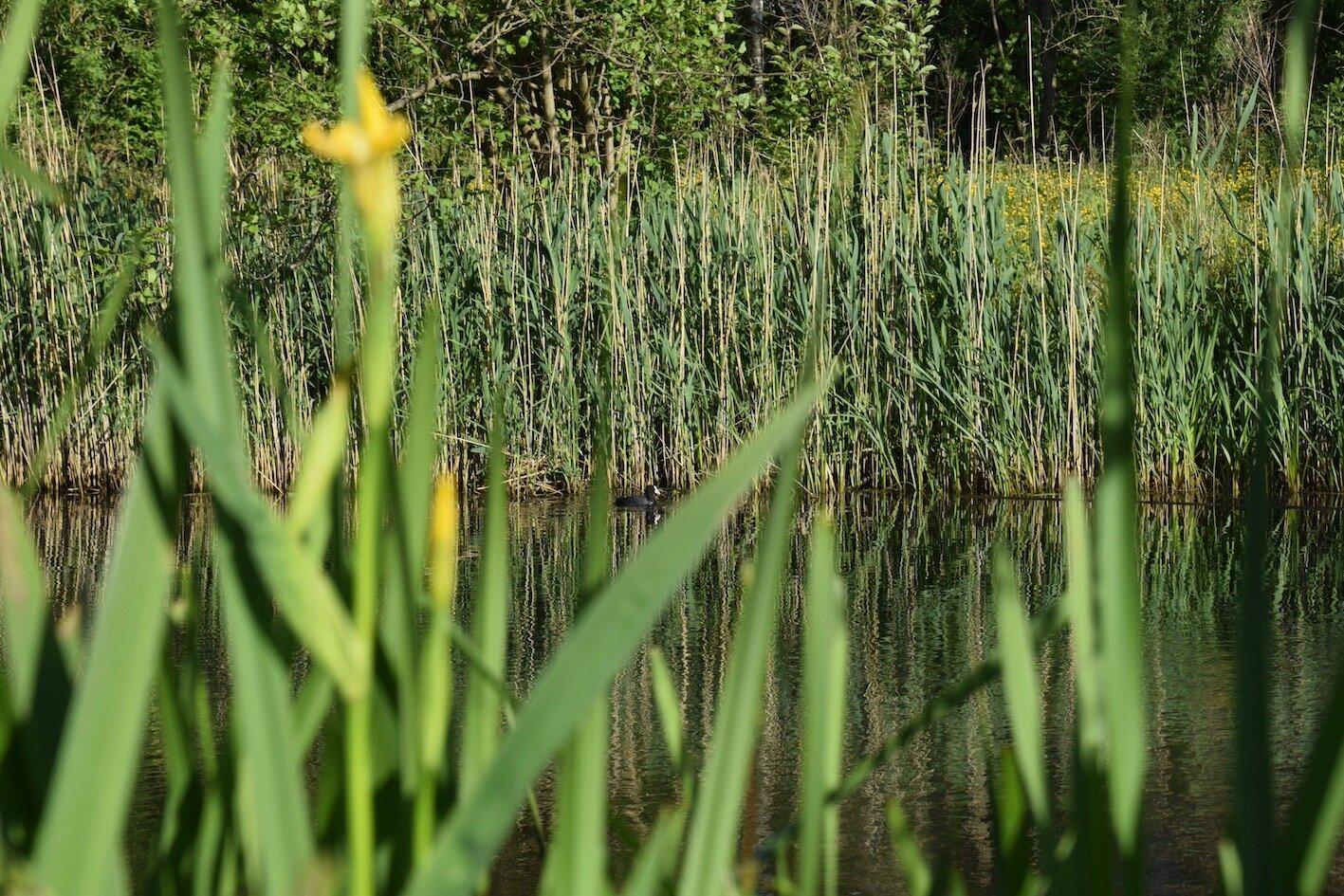 De gele lis helpt het water zuiveren in deze natuurlijke vijver, waar een meerkoet op bezoek is
