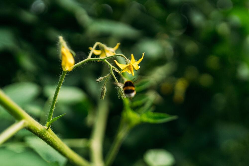 Aardhommel op een tomatenplant