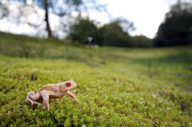 Gewone pad met albinisme