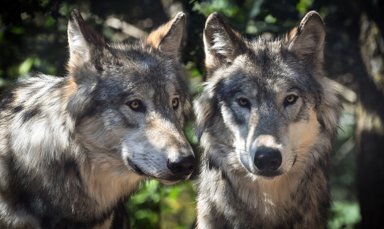 wolf-2984865-1280.jpg