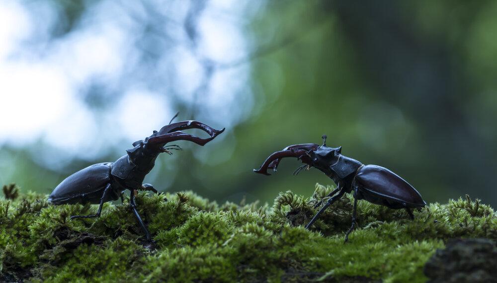 Vechtende mannetjes
