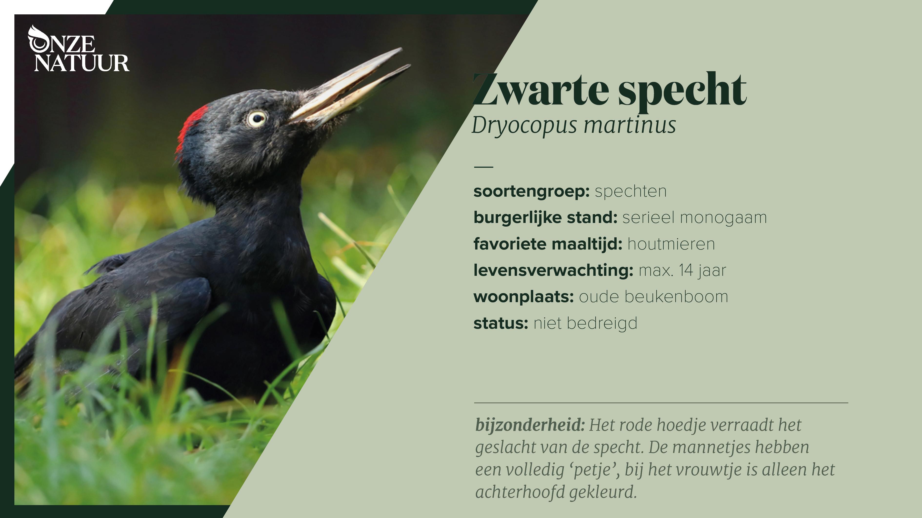 on-fiche-zwarte-specht-nl.png