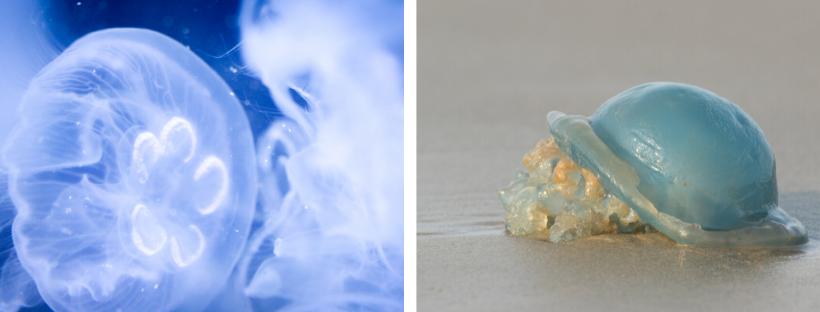 Links: oorkwal; rechts: zeepaddenstoel