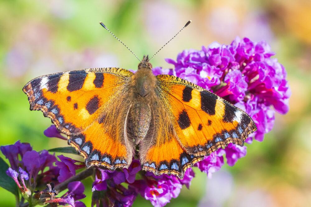kleine-vos-op-vlinderstruik.jpg